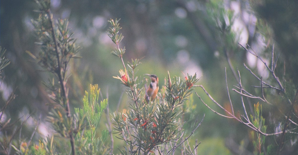 Eastern spinebill (Acanthorhynchus tenuirostris) male foraging in Lane Cove National Park, Sydney Book 2 Chapter 8: Transportation