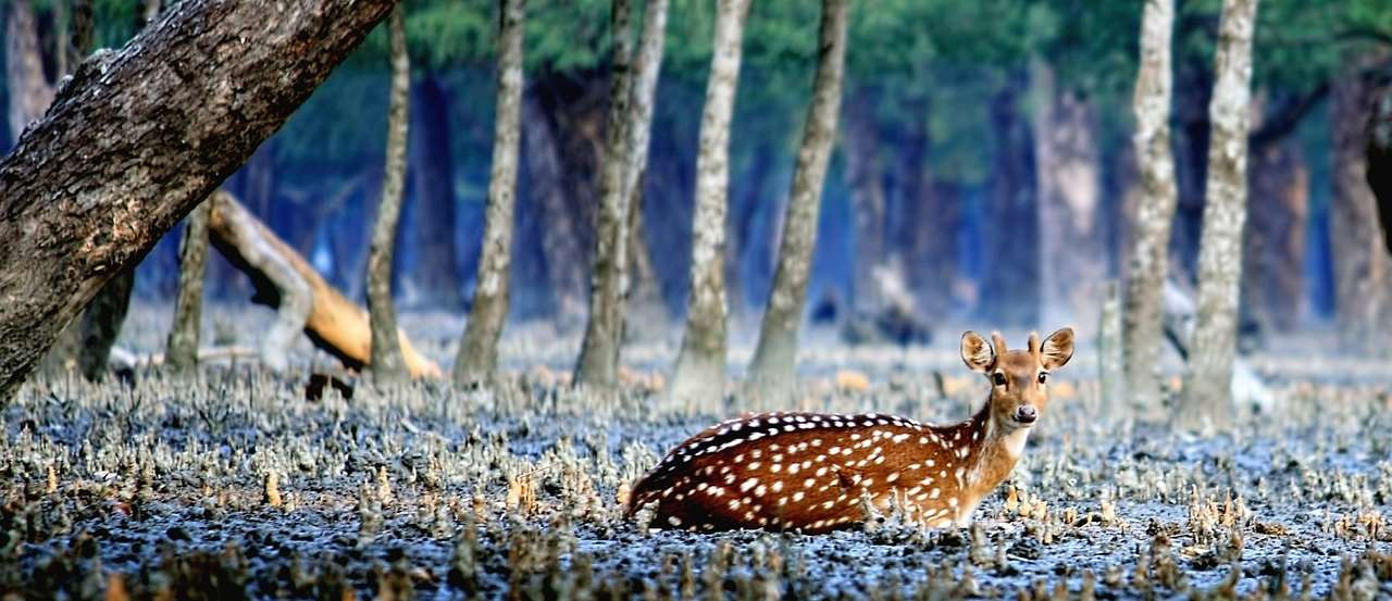 Deer Sundarbans Chapter 10