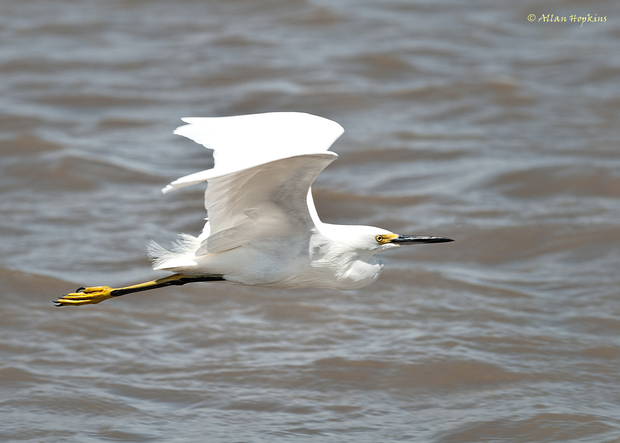 Snowy Egret (Egretta t. thula) in flight Book 3 Chapter 6: Essequibo